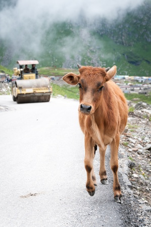 roller compactor: Frightened calf runs away from roller compactor on mountain road