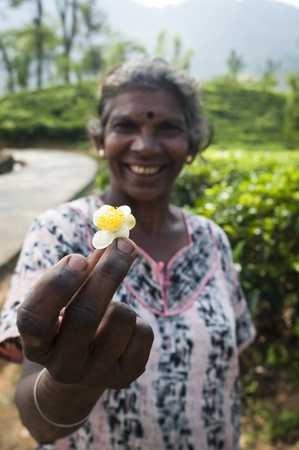 Nuwara Eliya, Sri Lanka - December 8, 2011: Tea flower in the overworked hand of traditional tea picker Indian smiling woman. Selective focus on the woman hand.