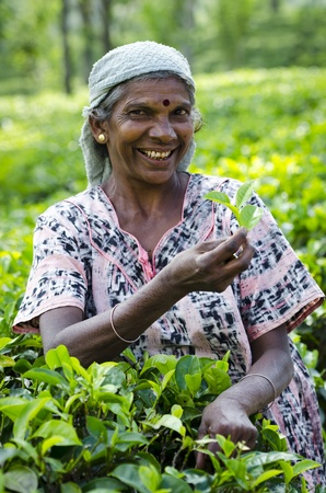 Nuwara Eliya, Sri Lanka - December 8, 2011:  Indian smiling woman picks in tea leaves with green fields on background. Selective focus on the woman.