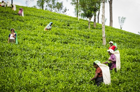 Nuwara Eliya, Sri Lanka - December 8, 2011:  Indian women pick in tea leaves with a green hill on background.  Editorial