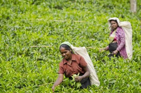 agriculture india: Nuwara Eliya, Sri Lanka - December 8, 2011:  Indian women pick in tea leaves with green fields on background. Selective focus on the front woman.