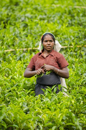 Nuwara Eliya, Sri Lanka - December 8, 2011:  Indian woman picks in tea leaves with green fields on background. Selective focus on the woman.