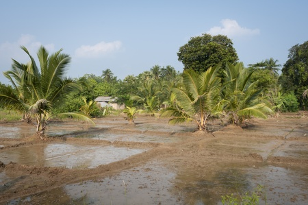 Flooded rice fields with an Asian rural house on background Stock Photo - 12173379