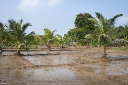 Flooded rice fields with palms and blue sky Stock Photo - 12173386