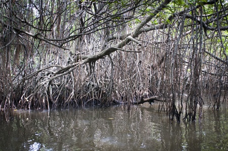 Dense group of mangrove trees are reflected in a swamp. photo