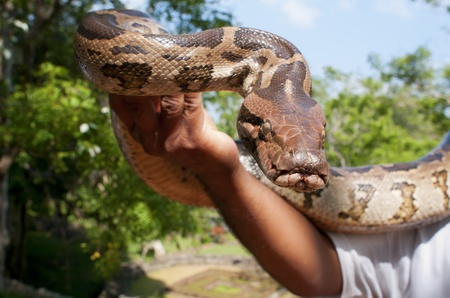 Hand-reared python in male hand. Focus on the snake. photo