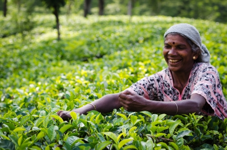 Nuwara Eliya, Sri Lanka - December 8, 2011:  Indian woman picks in tea leaves. Selective focus on the woman right hand.