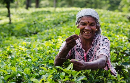 Nuwara Eliya, Sri Lanka - 8 december 2011: Indiase vrouw pikt in thee bladeren. Selectieve aandacht op het gezicht.