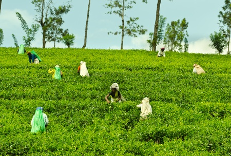 Nuwara Eliya, Sri Lanka - December 8, 2011:  Indian women pick in tea leaves with a green hill on background.