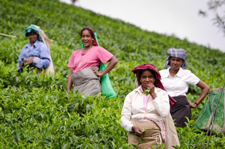 Nuwara Eliya, Sri Lanka - December 8, 2011:  Indian laughing tea pickers on green tea plantation