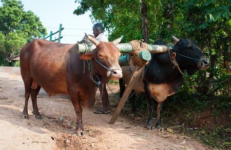 Habarana, Sri Lanka - December 4, 2011:  Traditional Sri Lankian yoke oxen wagon with drover on rural road