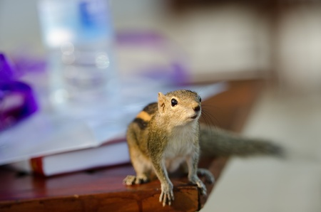 paw smart: Curious downy chipmunk on table  Selective fosus on the eye