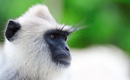 gray langur: Portrait of very serious wild monkey  Selective focus on eyes
