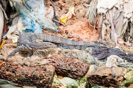 needless: Wild varanus between human garbage: plastic, rags and other