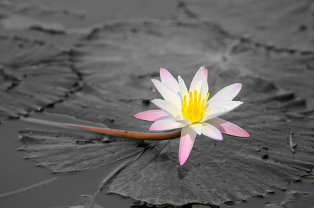 Blossoming lily flower with white and black leaves and water on background photo