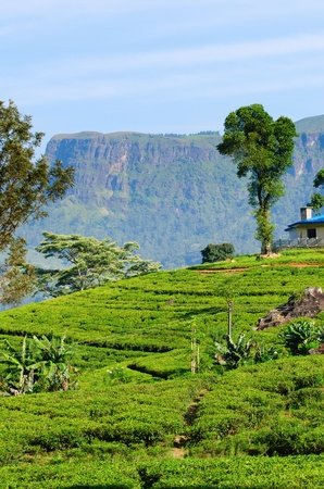 Green tea fields on hills with mountain and house on background Stock Photo - 12986586