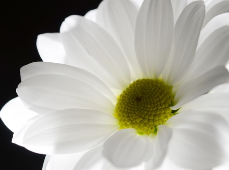 One white backlighted flower on black background  Focus on the green flower centre Stock Photo - 13241219
