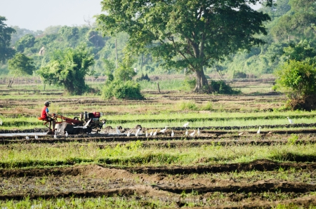 Habarana, Sri Lanka - December 6, 2011: A boy working with a motor plow on a rice field among white herons