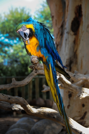Curious blue-and-yellow macaw, Ara parrot  Psittacidae  photo