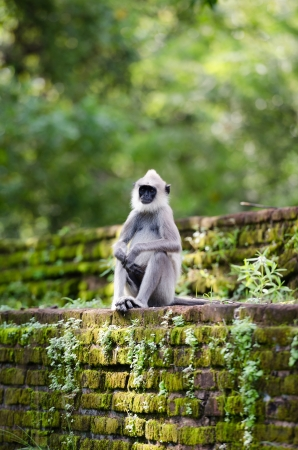 Wild monkey on the ancient wall covered by moss in tropical forest  Selective focus on the face photo