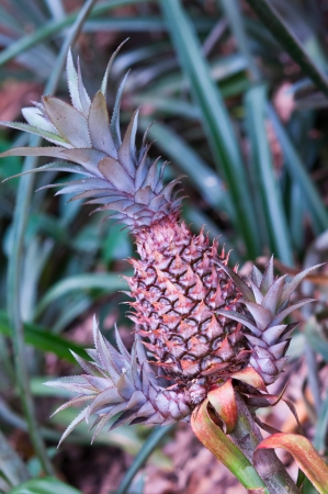 Fresh red pineapple on farm, tropical fruits  Stock Photo - 15117754