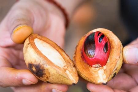 Vers geopend nootmuskaat fruit in handen. Selectieve aandacht op de nootmuskaat.
