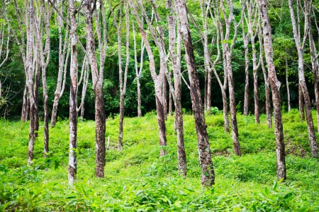 Rubber trees Hevea forest at Thailand  Selective focus on front tree  photo
