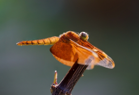 Red dragonfly resting on branch with green background. Selective focus on front. photo