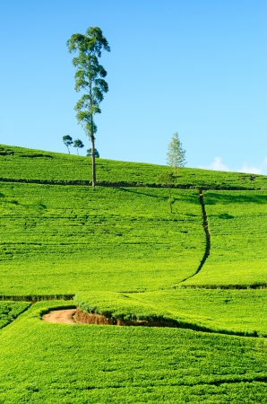Tea field in Nuwara Eliya, Sri Lanka. Ceylon tea. photo