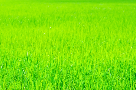 Nature green grass rice stem field background photo