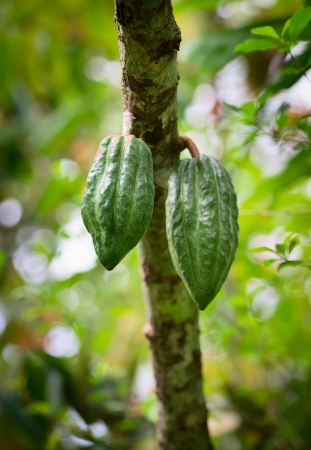 bitter fruit: Cocoa tree (chocolate tree) with two green pods, Bali island, Indonesia