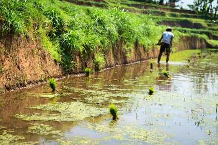 Bali male farmer plant and growing rice on the paddy rice farmland field Stock Photo - 18413715