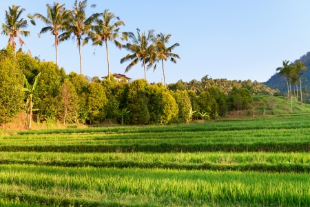 Paddy with green rice sprouts seedlings on field with palms and blue sky on background Stock Photo - 18413718