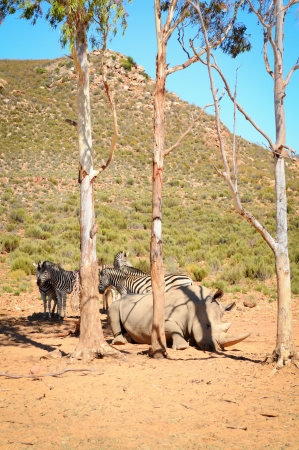 African white rhinos relax during midday heat  photo