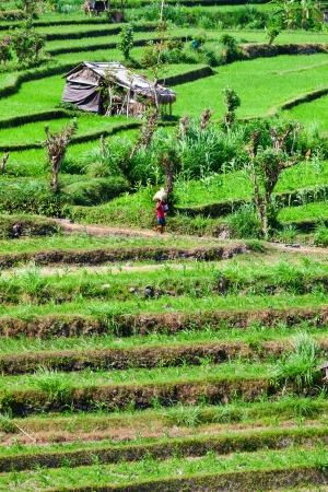 Green rice field terrace with small temporary buildings, Bali, Indonesia Stock Photo - 19656522