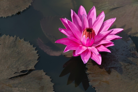 Flower fuchsia-colored Nymphaea nouchali star lotus or water lily in water pond photo