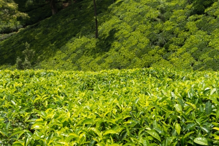 Fresh green tea plantation field at Nuwara Eliya, Sri Lanka, Ceylon Stock Photo - 20622644