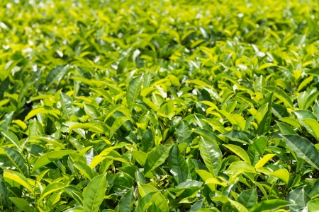 wood agricultural: Fresh green tea plantation field at Nuwara Eliya, Sri Lanka, Ceylon Stock Photo