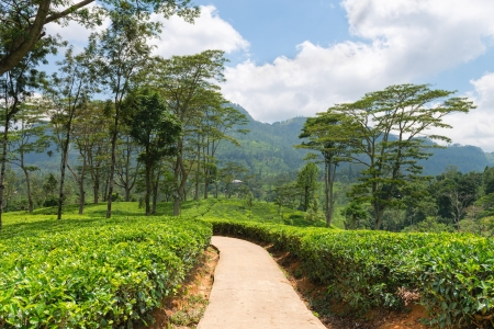 Path in fresh green tea plantation field at mountains of Nuwara Eliya, Sri Lanka, Ceylon photo