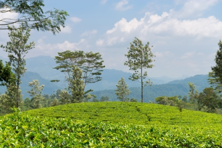 Fresh green tea plantation field at mountains of Nuwara Eliya, Sri Lanka, Ceylon. Focus on the front leaves Stock Photo - 20622550