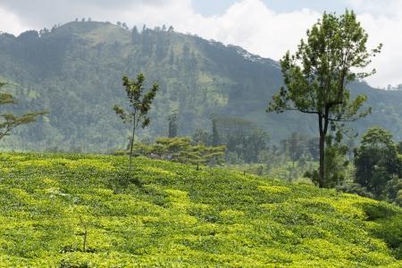 Fresh green tea plantation field at mountains of Nuwara Eliya, Sri Lanka, Ceylon photo
