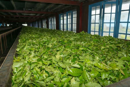withering: Fresh green tea crop drying on long warm surface inside of tea factory for withering Stock Photo