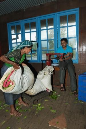 NUWARA ELIYA, SRI LANKA - APR 18: Female worker brings tea leaf crop on Blue Field Tea Garden PVT tea factory for weighing on Apr 18, 2013 in Nuwara Eliya, Sri Lanka.