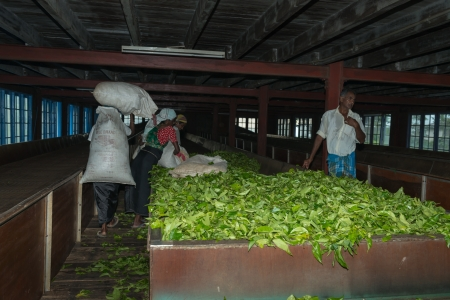 NUWARA ELIYA, SRI LANKA - APR 18: Workers  lay out fresh tea leaf crop on Blue Field Tea Garden PVT tea factory for withering on Apr 18, 2013 in Nuwara Eliya, Sri Lanka.