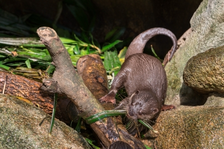 small clawed: Asian small-clawered otter (Aonyx cinerea) in a front of cave Stock Photo