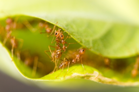 Weaver ants (Oecophylla smaragdina) are working together to build a nest in green leaves photo