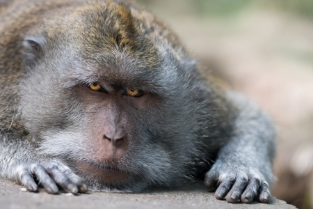 intent: Intent and strict look of resting wild big monkey leader Stock Photo