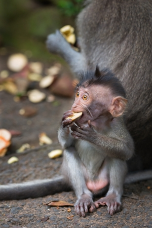 Monkey small child macaque learn to bite hard food near his mother photo