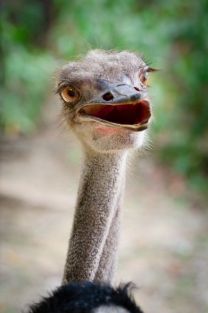 Funny ostrich bird head with stupid look Stock Photo - 22644166