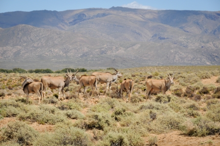 Group of common elands (Taurotragus oryx), the largest of all antelope in Africa at africal bush photo